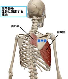 肩甲骨を固定する筋肉