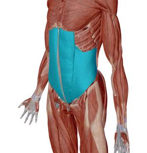 お腹の筋肉の位置を示す図